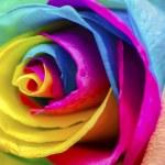 Poetic Rose — Stock Photo