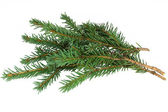 Spruce branches on a white background — Stock Photo
