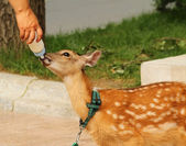 Fawn sucking milk from the nipples — Stock Photo