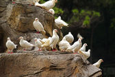 White pigeons sitting on a rock — Stock Photo