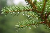 капли воды на ветке, едят после дождя — Стоковое фото