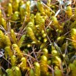 Stock Photo: Sprigs of moss macro