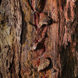Stock Photo: Old tree bark with resin streaks