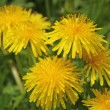 Bright yellow dandelion with water drops on the leaves — Stock Photo