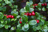Red whortleberry — Stock Photo