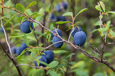 The berries of blueberry closeup — Stock Photo