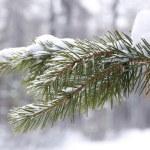 Coniferous tree branch in snow closeup — Stock Photo #37695455
