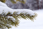 Coniferous tree branch in the snow — Stock Photo