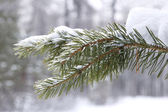 Coniferous tree branch in snow closeup — Stock Photo