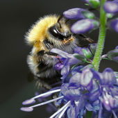 Shaggy bumblebee sitting on a blue flower — Stock Photo