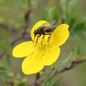 Fly on flower — Stock Photo