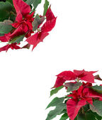 Red winter flower Puansettia , gift card — Stock Photo
