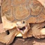 Turtle, big reptile — Stock Photo