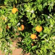 Orange Tree in Portugal garden — Stock Photo
