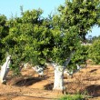 Orange Tree in Portugal garden — Stok fotoğraf
