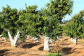 Apelsinträd i portugal trädgård — Stockfoto