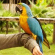 Stock Photo: Blue and yellow macaw parrot sitting on hand