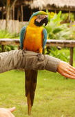 Blue and yellow macaw parrot sitting on hand — Stock Photo