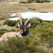 Standing alpine ibex, wild animal living in high altitude — Stock Photo