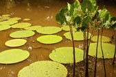 Giant water lily (Vicoria amazonica) at first night flowering. The second night it turns pink. — Stock Photo