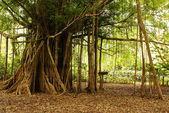 Amazon jungle tree — Stock Photo