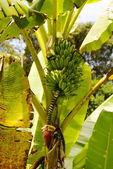 Banana fruit on palm tree plantantion.Colombia — Stock Photo