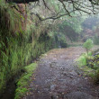 Stock Photo: Laurel forest on Madeira