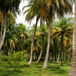 Green Palm Forest in Colombian Island Mucura — Stock Photo #38516941