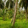 Green Palm Forest in Colombian Island Mucura — Stock Photo #38517889