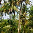 Green Palm Forest in Colombian Island Mucura — Stock Photo #38519151