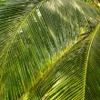 Green Palm Forest in Colombian Island Mucura — Stock Photo