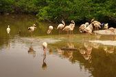 The American subspecies of Caribbean Flamingo (Phoenicopterus ruber ruber) — Foto Stock
