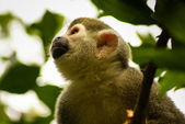 Amazon and america Monkey: Saimiri sciureus sciureus — Stock Photo