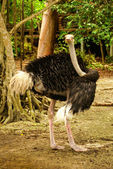 Ostrich on the Caribbean island of Mucura Colombia — Stock Photo