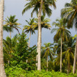 Green Palm Forest in Colombian Island Mucura — Stock Photo #38521407