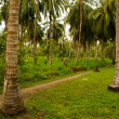 Green Palm Forest in Colombian Island Mucura — Stock Photo #38522161