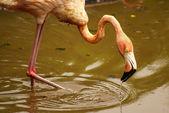The American subspecies of Caribbean Flamingo (Phoenicopterus ruber ruber) — Stock Photo