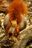Red Squirrel in the island Mucura,Colombia — Stock Photo