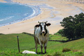 Cattle grazing on a beach background Cantabria, Spain — Stock Photo