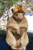 Barbaby Ape sitting on wall overlooking the port area, Gibraltar, UK, Western Europe. — Stock Photo