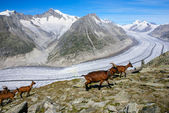 Mountain goat on a background of the glacier aletchs — 图库照片