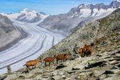 Mountain goat on a background of the glacier aletchs — Stockfoto