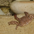 Ghost crab on sand — Stock Photo