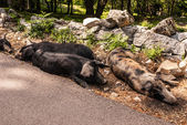 Wild boars in forest ,Corsica in the france,europa — Stock Photo
