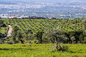 Panorama of the province of Granada, with olive trees. Andalusia — Stock Photo