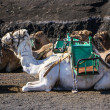 Camel in Lanzarote in timanfaya fire mountains at Canary Islands — Stock Photo