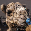 Camel in Lanzarote in timanfaya fire mountains at Canary Islands — ストック写真