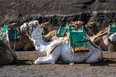 Camel in Lanzarote in timanfaya fire mountains at Canary Islands — Stockfoto