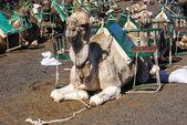 Wielbłąd w lanzarote góry ognia timanfaya na Wyspach Kanaryjskich — Zdjęcie stockowe