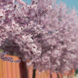 Sakura flowers blooming. Beautiful pink cherry blossom — Stock Photo #43005523